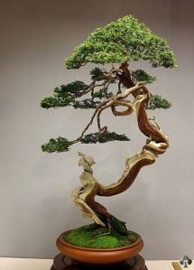 08-juniper-bonsai-blasco-paz