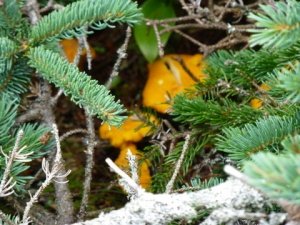 Maine mushrooms