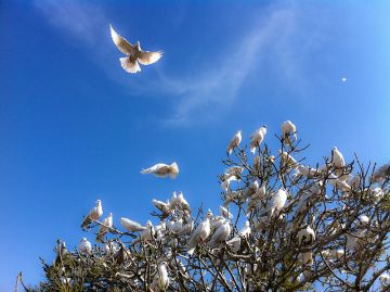 White Doves at Blue Mosque