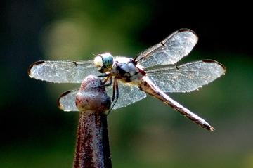 81226116.9b8fXl5I.dragonflybrightinsunedit4655