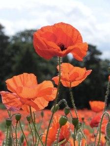 poppy-field