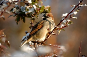 Sparrow_on_snowy_branch