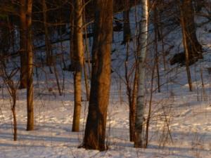 Evening-Woods