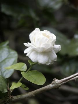 Arabian Jasmine (another name for Damascus is City of Jasmine)