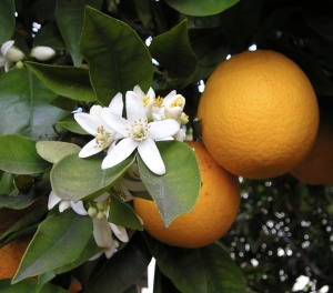 OrangeBloss_wb