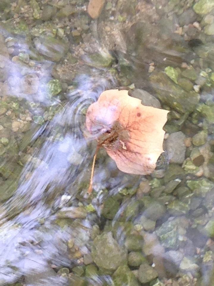 Floating Leaf in Fresh Water near the Salt Sea (Dead Sea), Israel ©2015 Michael Dickel