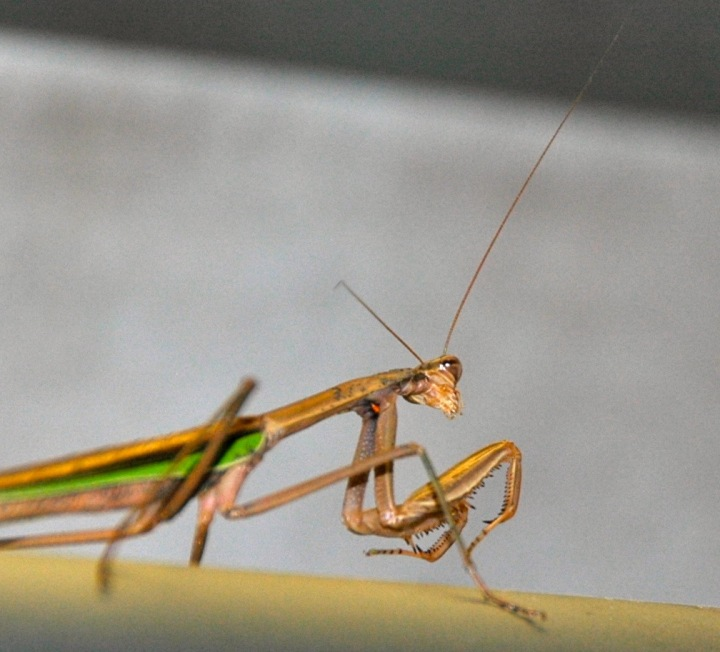 praying mantis - 1