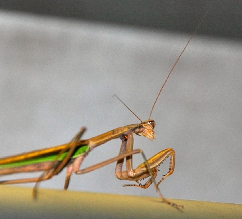 praying mantis - 1
