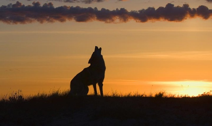 coyote-howling-800x475