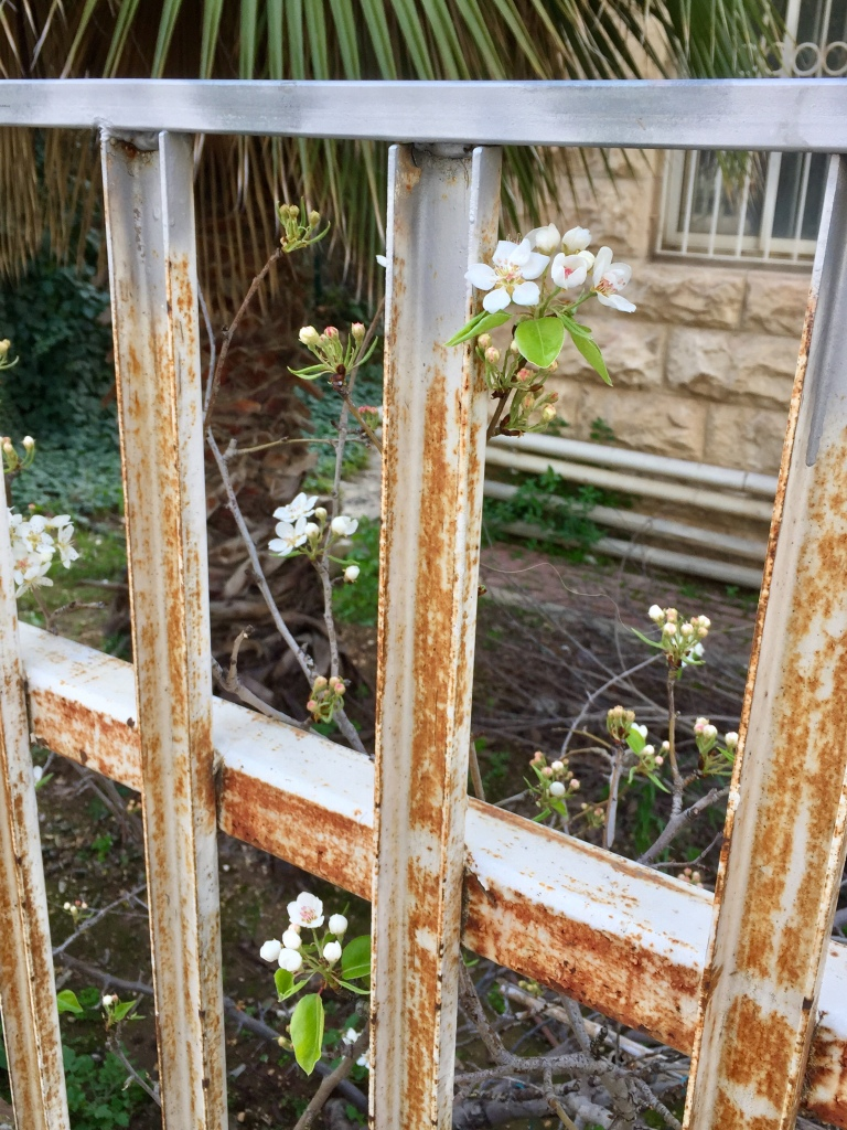 Photograph of almond flowering through rusted fence.