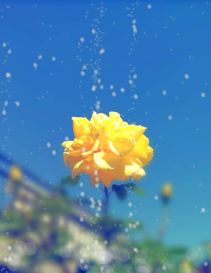 Yellow Roses - Photograph - Miroslava Panayotova
